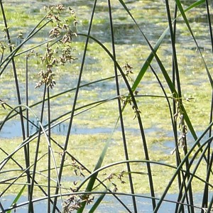 Hard Stem Bulrush (Scirpus acutus) - Plants